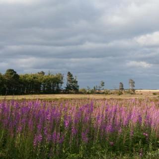 Amrum Heide Inselwald