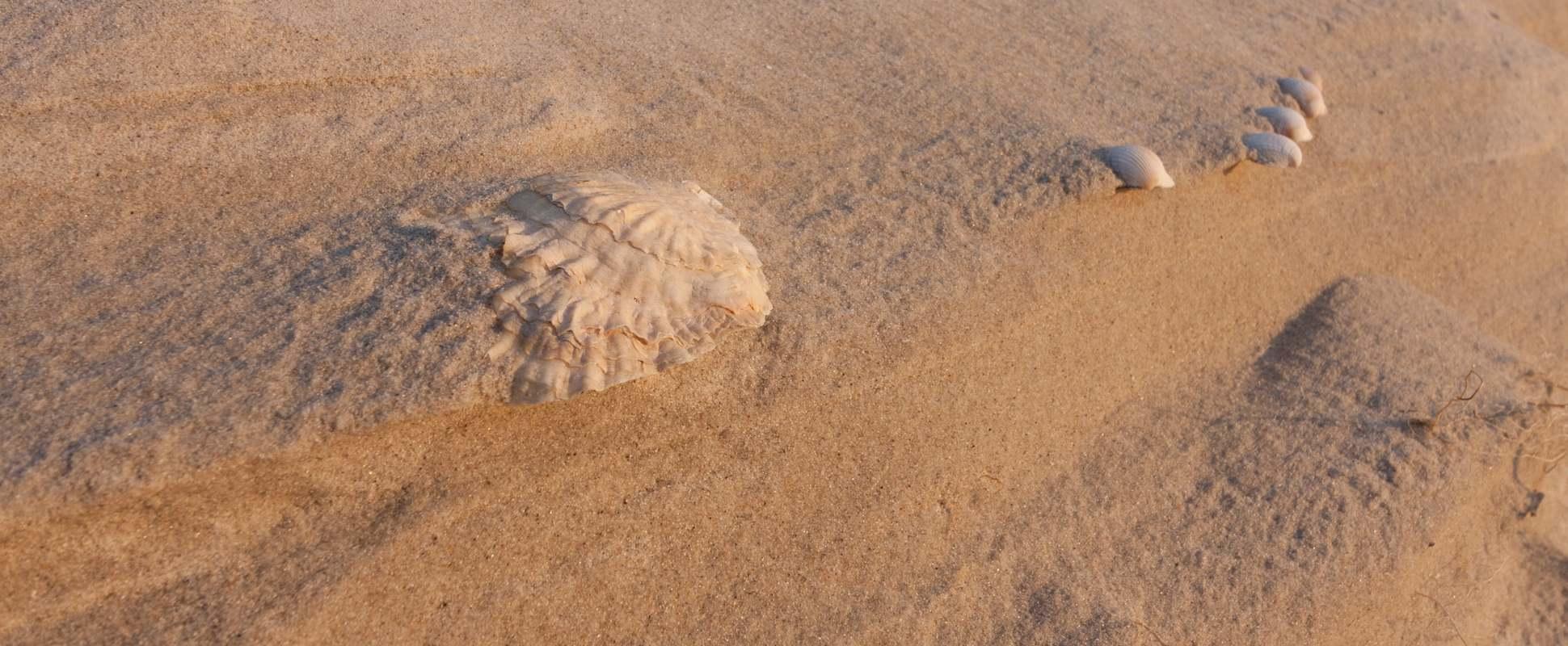 Amrum Strand Muscheln