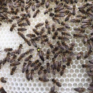 Unsere Bienenkönigin Nr. 13