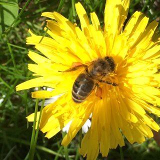 Honigbiene sammelt Pollen auf Amrum
