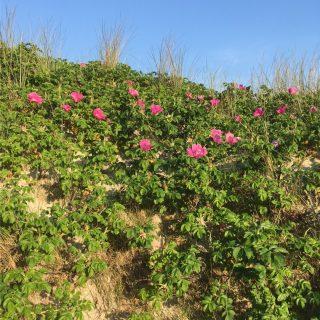 Wilde Rosen auf Amrum