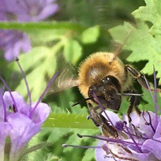Amrumer Biene an Phacelia
