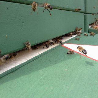Drohnen (männliche Bienen) kommen zurück