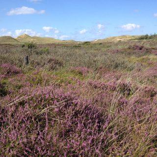 Amrumer Heide